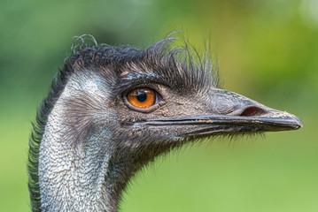 Portrait of Australian Emu (Dromaius novaehollandiae)
