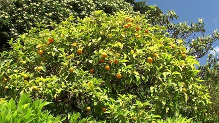 Orange tree with a fruit