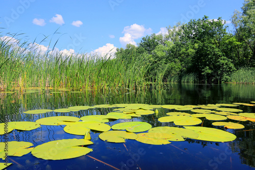canvas print picture water lily leafs on lake