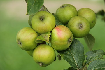 A Crop of Apples Growing on a Fruit Tree.