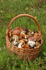 Mushrooming, wicker basket full of mushrooms