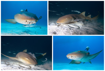 Sharks of caribbean sea. Nurse shark.
