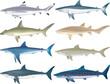 Shark Species - 66971583