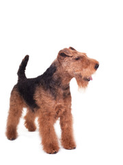 Welsh Terrier on a white background
