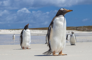 Gento Penguins close-up at Falkland Islands