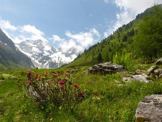 Alpenrosen und Gletscher im Hintergrund