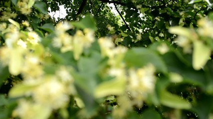 Detail Of Linden Blossoms, rack focus,