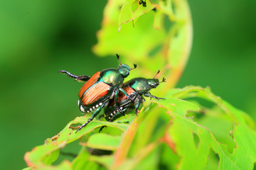 Japanese beetle (Popillia japonica) in Japan