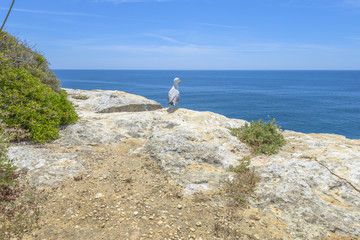 seagull on top of a cliff looking at the Atlantic Ocean
