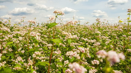 Field of buckwheat with white flowers