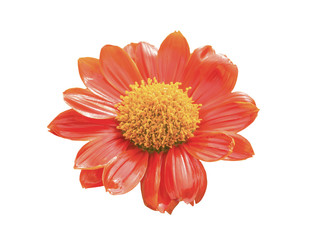 Close up orange zinnia flower isolated