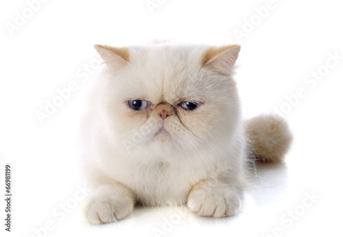 canvas print picture exotic shorthair cat