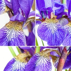 colorful flowers irises