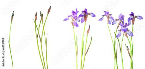 Foto op Canvas Iris Blue iris
