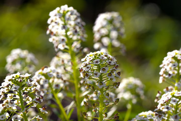 Sweet Alyssum (Lobularia maritima), is a species of low-growing
