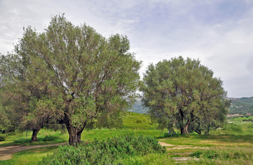Parco naturale del Cilento - Salerno, ulivi secolari