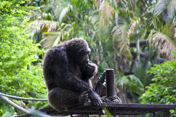 Big Monkey in Zoo