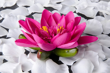 Pink water lily with white petals