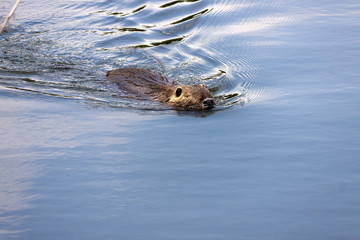 a nutria swimming in the calm waters of the river