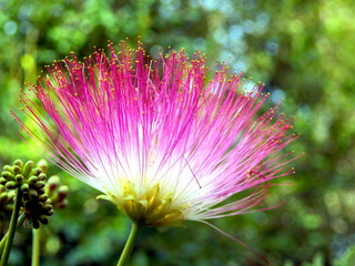 Persian Silk Tree flower or Mimosa (Albizia julibrissin)