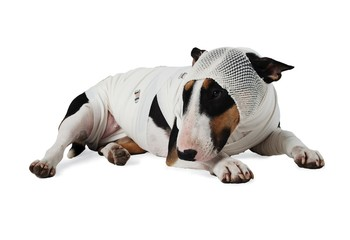 Ill Bull Terrier dog on white background