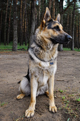 sitting German shepherd