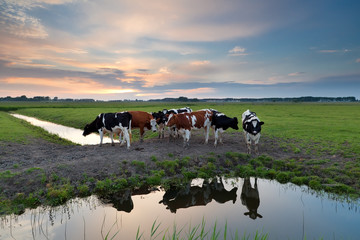 few cows by river at sunset