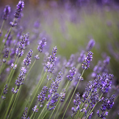 Purple lavender flowers