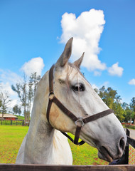 The beautiful head of a white horse