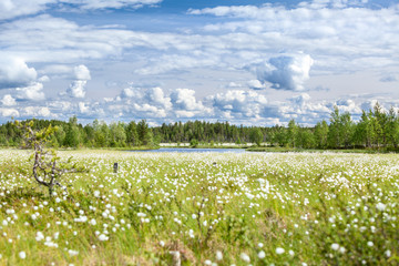 Sunny day at swampy river bank with cotton-grass, Karelia