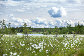 Summer landscape with cotton grass on swamp and river
