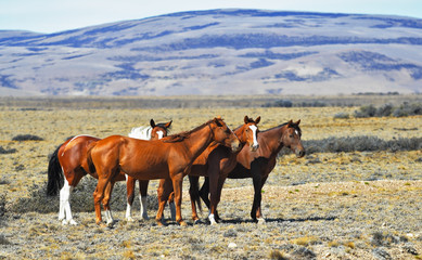 The herd of wild mustangs