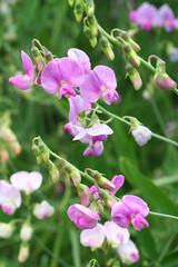 fiori di Pisello odoroso_ giardino