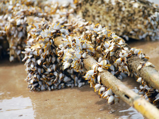 Goose barnacles on lumber