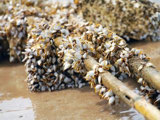 Goose barnacles on lumber
