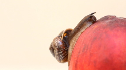 snail eats fruit an peach on a background