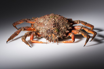European spider crab, crustacean, seafood, orange, red, isolated