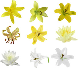 nine isolated lily flowers set