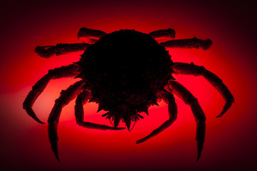 Silhouette, European spider crab, red, stealth, danger, prowling