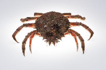 European spider crab, crustacean, shellfish, seafood, isolated,