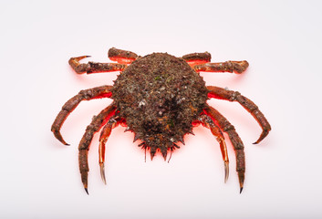 European spider crab, luminous red shadow, isolated, crustacean,