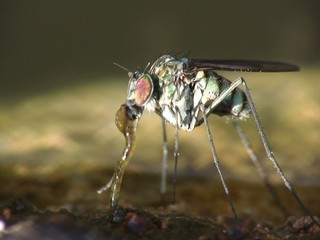 Fly (Dolichopus ungulatus) eating worms