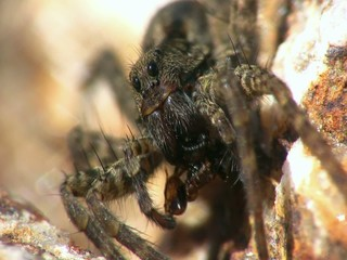 Wolf spider (Pardosa amentata) eating ant