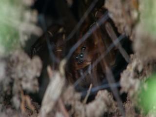 Wolf spider (Trochosa robusta)