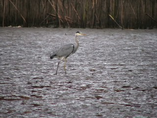 Grey Heron (Ardea cinerea) in mud