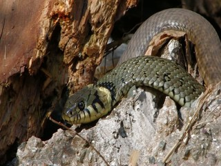 Grass snake (Natrix natrix) and dice snake (Natrix tessellata)