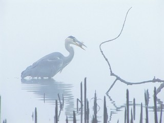 Grey Heron (Ardea cinerea) catching fish in fog