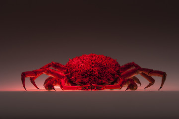 European spider crab, crustacean, shellfish, cooking, copy space