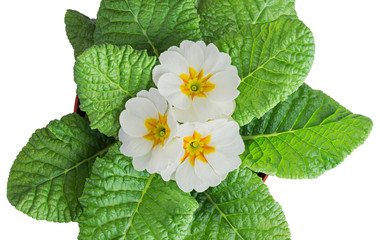 White primula flowers
