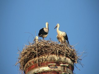 White storks (Ciconia ciconia) in nest